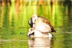 Egyptian Goose With Noise Reduction - Fujifilm Superia X-TRA 800