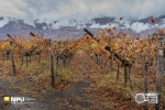 Autumnal Vineyards, Hex River, South-Africa