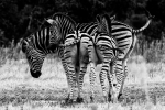 Zebra, Addo Elephant National Park, AENP, South-Africa