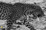 Early Morning Leopard on the Hunt, Madikwe Game Reserve, South-Africa