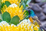 Orange-breasted Sunbird, Cape Point Nature Reserve, Cape-Town South-Africa