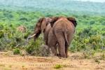 Elephants, Addo Elephant National Park, AENP, South-Africa