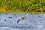 Egyptian Goose, Intaka Bird Island, Cape-Town South-Africa
