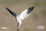 Black-Shouldered Kite, WCNP, West Coast National Park, South-Africa