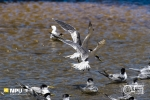 Swift Terns, Cape Point Nature Reserve, South Africa
