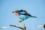 Lilac Breasted Roller, Madikwe Private Game Reserve, South-Africa