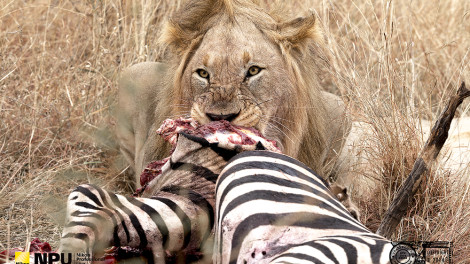 Lion at a Zebra Kill, Madikwe Private Game Reserve, Mosetlha, South-Africa