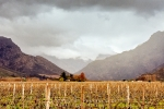 Landscape - Winter Vineyards At Rest, Rawsonville, South-Africa - Kodak ColorPlus 200