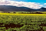 Landscape - Canola Fields, Helderstroom, South-Africa - Kodak Ektar 100
