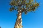 Kokerboom, Nieuwoudtville, Northern Cape, South Africa