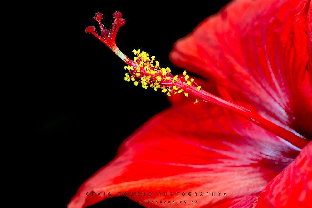 Red Hibiscus, Stellenbosch, South-Africa Craig Fouché Photography ©2014