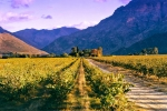 Landscape - Evening Light At Avondrood Vineyards - Konica Centuria 100
