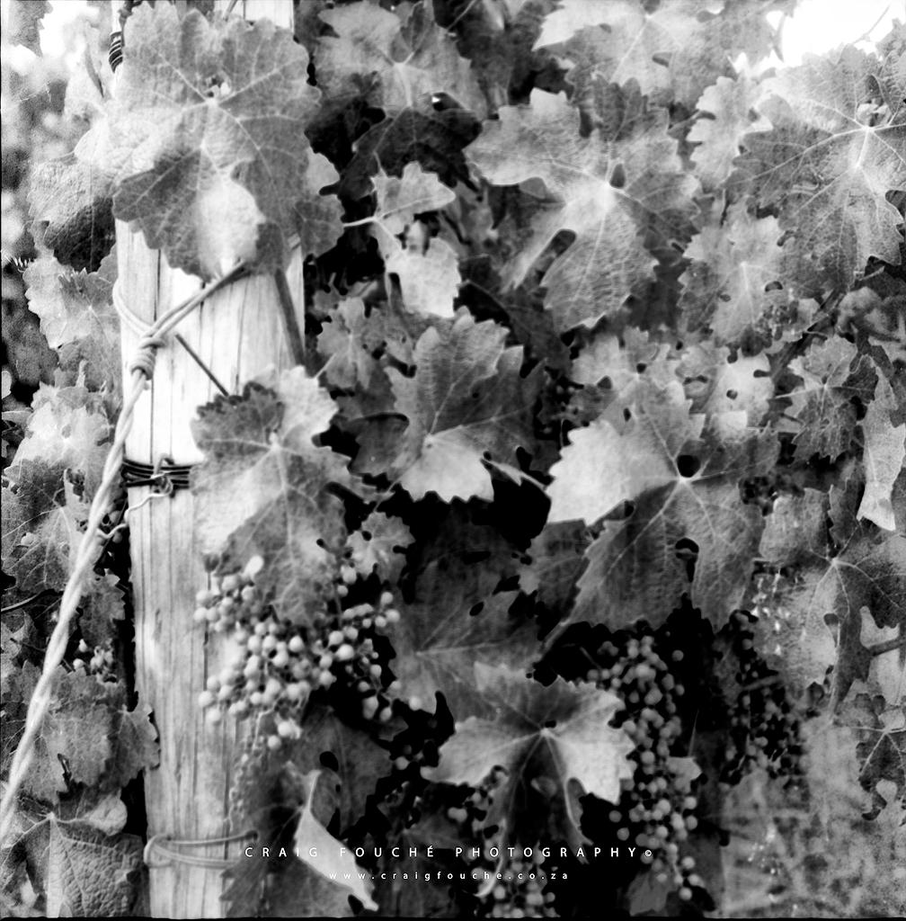 Vineyards, Deetlefs Wine Estate, Rawsonvile, South-Africa - Rerapan 400