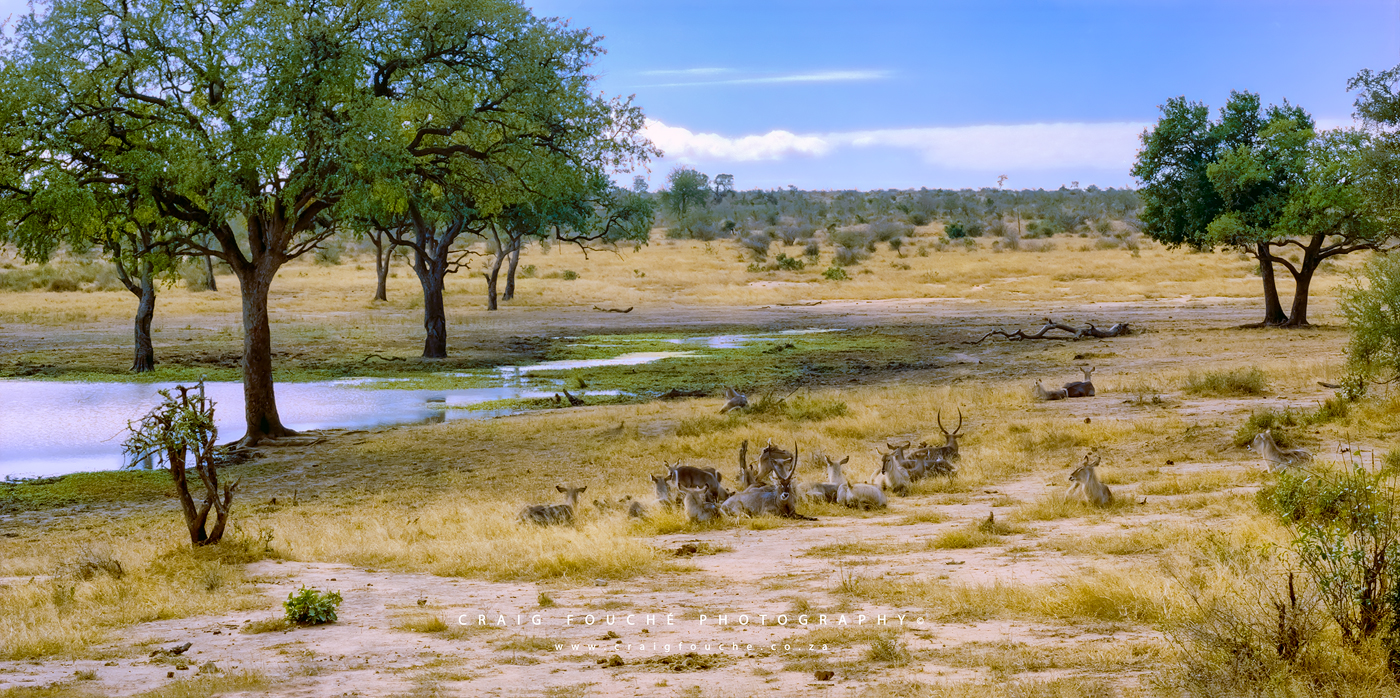 Wildlife - Waterbuck, Kumana Dam,  Kruger National Park, South-Africa - Kodak Portra 400