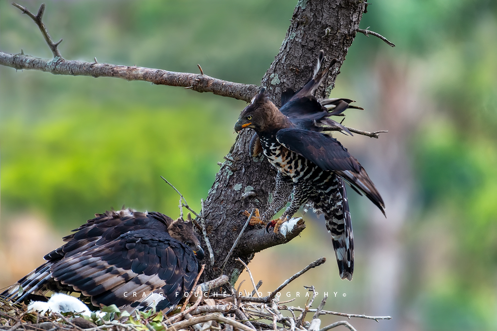 Crowned Eagle Family On A Nest, East-London, South-Africa