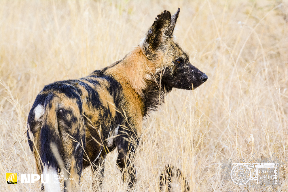 Wild Dog, Madikwe Private Game Reserve, South-Africa