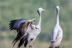Blue Cranes, Bot River, Overberg, South-Africa