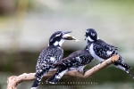 Pied Kingfishers, Intaka Bird Island, Cape-Town South-Africa