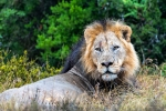 Lion, Addo Elephant National Park, AENP, South-Africa