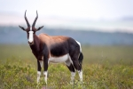 Bontebok, Bontebok National Park, Swellendam, South-Africa