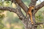 Impala Kill, KNP, Kruger National Park, South-Africa