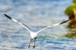Squawk, Hautlaub's Gull, Intaka Bird Island, Cape-Town South-Africa