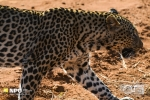 Early Morning, Leopard on the Hunt, Madikwe Game Reserve, South-Africa