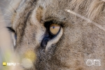 Lion, Madikwe Private Game Reserve, South-Africa