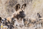 Wild Dogs, Madikwe Private Game Reserve, South-Africa
