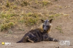 Brown Hyaena, Madikwe Private Game Reserve, South-Africa