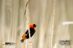 Red Bishop, Intaka Bird Island, Cape Town, South Africa