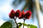 Lipstick Plant, Zanzibar, Tanzania